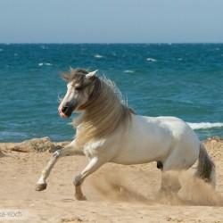 Siwy ogier pre galopujący po plaży nad morzem zdjęcia koni