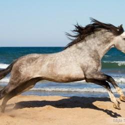 Szpakowaty ogier andaluzyjski galopujący po plaży w Hiszpanii zdjęcia koni