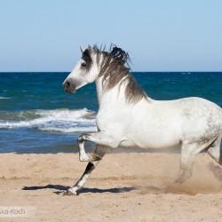 Siwy ogier pre galopujacy na plaży w Hiszpanii nad morzem zdjęcia koni