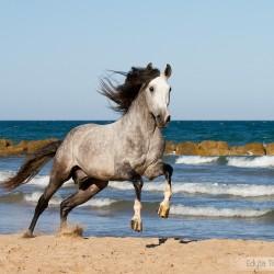 Szpakowaty ogier pre galopujący nad morzem po plaży w Hiszpanii zdjęcia koni