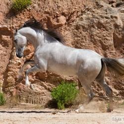 Siwy ogier pre galopujący po piasku na tle skał w Hiszpanii zdjęcia koni