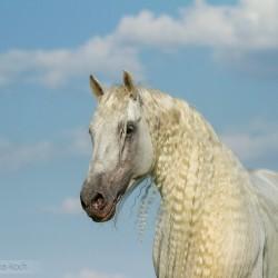 Portret siwego ogiera andaluzyjskiego na tle nieba zdjęcia koni