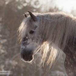 Zimowy portret ogiera andaluzyjskiego PRE zdjęcia koni