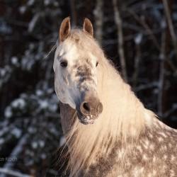 Portret siwego ogiera andaluzyjskiego zimą na tle lasu zdjęcia koni