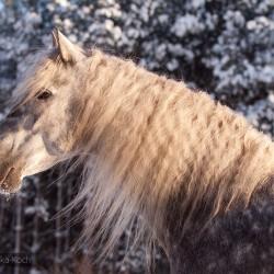 Portret siwego ogiera PRE na tle osnieżonych drzew zdjęcia koni