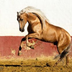 Ogier andaluzyjski palomino galopujący na arenie