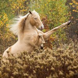Andaluz palomino wspinający się wśród jesiennych traw