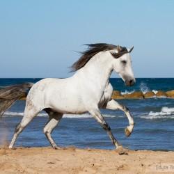 Siwy ogier PRE galopujący nad morzem w Hiszpanii zdjęcia koni