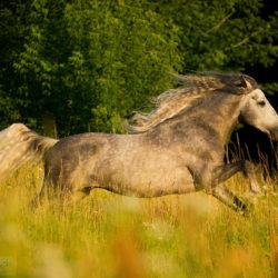 Siwy ogier andaluzyjski galopujący wśród traw