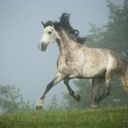 Siwy ogier andaluzyjski galopujący we mgle