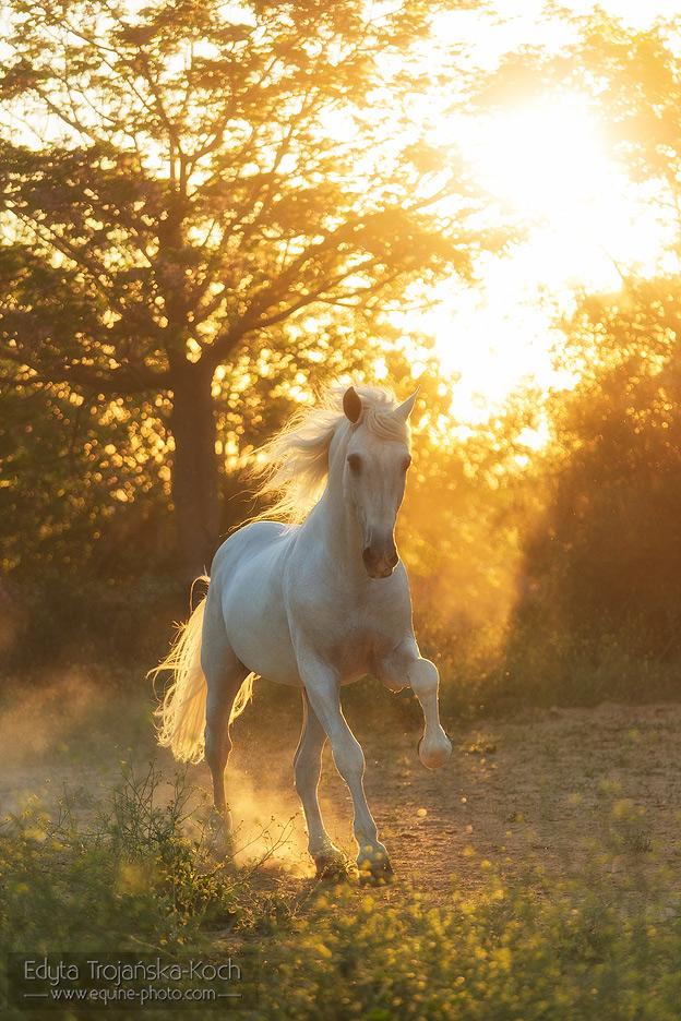http://www.equine-photo.com/wp-content/uploads/2015/02/andaluz-siwy-galop-zachod-kurz.jpg