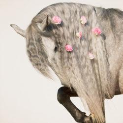 Siwy ogier andaluzyjski z kwiatami w grzywie