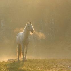 Siwy andaluz w wschodzie nad wodą we mgle