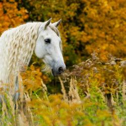 Portret siwego andaluza jesienią wśród traw na tle drzew