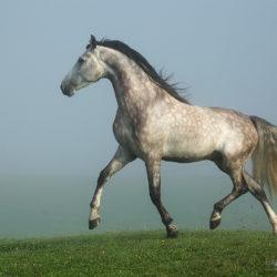 Siwy ogier andaluzyjski kłusujący we mgle