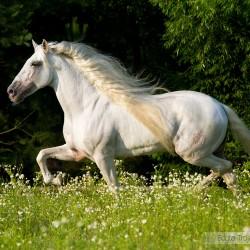 Siwy ogier andaluzyjski kłusujący wiosną po kwitnącej łące zdjęcia koni