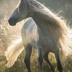 Siwy ogier andaluzyjski wśród traw i mgieł