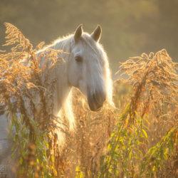 Portret siwego andaluza jesienią wśród traw o wschodzie słońca