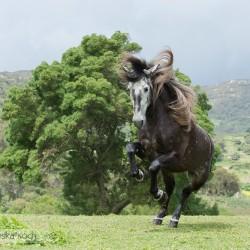 Siwy ogier andaluzyjski galopujący na tlke gór w Hiszpanii