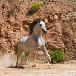 Siwy ogier andaluzyjski galopujący po piasku na tle skał w Hiszpanii zdjęcia koni