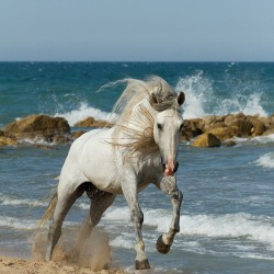 Siwy ogier andaluzyjski galopujący po plaży na tle skał w Hiszpanii zdjęcia koni