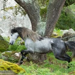 Siwy ogier andaluzyjski galopujący wśród skał w górach w Hiszpanii