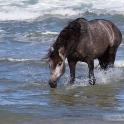 Szpakowaty ogier andaluzyjski PRE pijący wodę w morzu zdjęcia koni