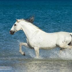 Siwy ogier andaluzyjski PRE kłusujący w morzu w Hiszpanii zdjęcia koni