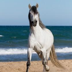 Siwy ogier andaluzyjski pre kłusujący po plaży w Hiszpanii zdjęcia koni