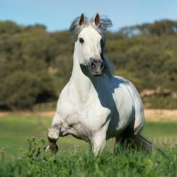 Siwy ogier andaluzyjski kłusujący po wiosennej łące