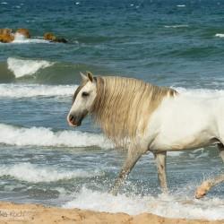 Siwy ogier spacerujący w morzu w Hiszpanii zdjęcia koni