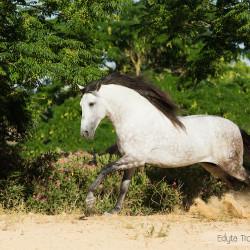 Siwy ogier andaluzyjski galopujący wiosną po piasku na tle drzew