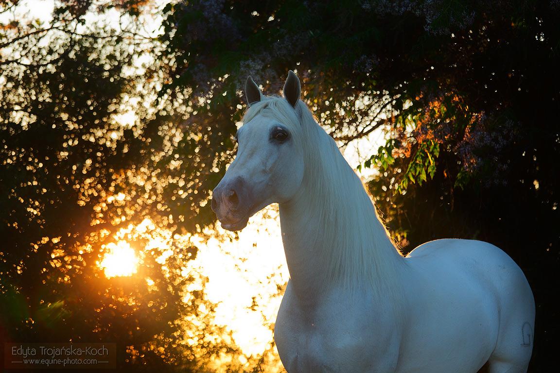 http://www.equine-photo.com/wp-content/uploads/2015/02/andaluz-siwy-portret-zachod.jpg