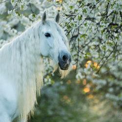 Portret siwego andaluza wiosną w kwitnącym sadzie o wschodzie