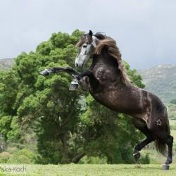 Siwy ogier andaluzyjski stający dęba na tle gór w Hiszpanii