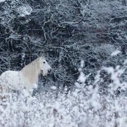 Siwy andaluz stojący zimą wśród traw na tle lasu