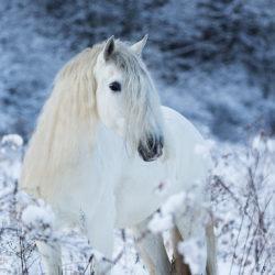 Portret siwego andaluza zimą wśród traw