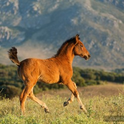 Źrebak pre galopujący w górach wiosną w Hiszpanii zdjęcia koni