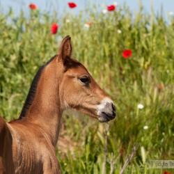 Portret źrebaka andaluzyjskiego wiosną w makach w Hiszpanii