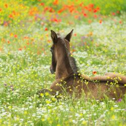 Źrebak andaluzyjski leżący na kwitnącej łące