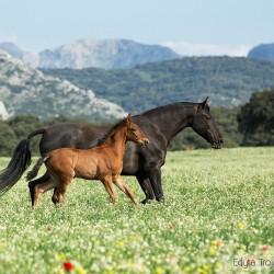 Klacz andaluzyjska ze źrebakiem kłusująca po ukwieconej łące w górach Hiszpanii