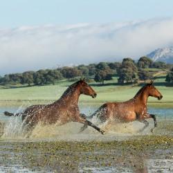 Gniade klacze andaluzyjskie PRE galopujące przez jezioro w górach w Hiszpanii zdjęcia koni