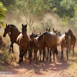Stado klaczy andaluzyjskich PRE na drodze w kurzu w Hiszpanii zdjęcia koni