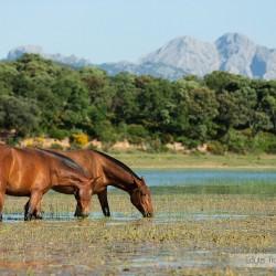 Gniade klacze andaluzyjskie pre pijące wodę w jeziorze w górach w Hiszpanii zdjęcia koni