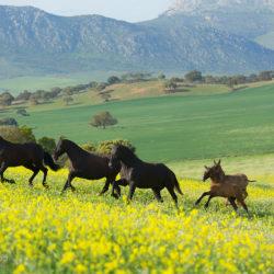 Stado karych klaczy andaluzyjskich w górach