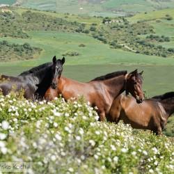Klacze andaluzyjskie stojące wśród kwiatów w górach w Hiszpanii