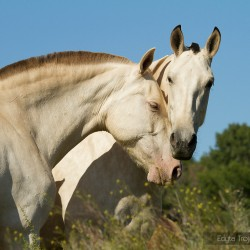 Portret dwóch klaczy PRE cremello wiosną w Hiszpanii zdjęcia koni