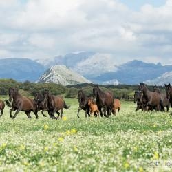 Stado karych klaczy andaluzyjskich galopujących w górach Andaluzji