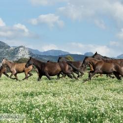 Stado karych klaczy andaluzyjskich galopujących w górach Hiszpanii