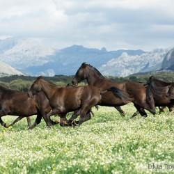 Stado klaczy andaluzyjskich galopujące wśród kwiatów w górach Hiszpanii